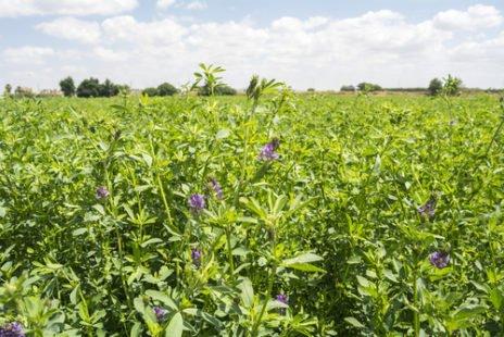 Alfalfa : une plante médicinale à connaître