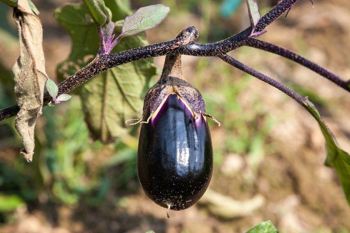 Photo of Nos conseils pour planter des délicieuses aubergines