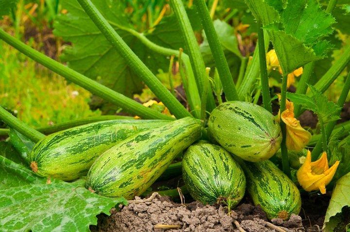 Photo of Planter des courgettes: simplicité et abondance