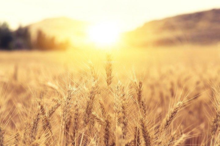 Tous les bienfaits du germe de blé
