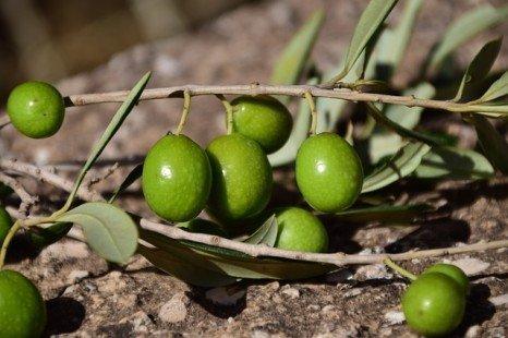 Olive : bonne pour la peau et l'organisme