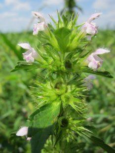 Une plante intéressante pour ses bienfaits sur la santé