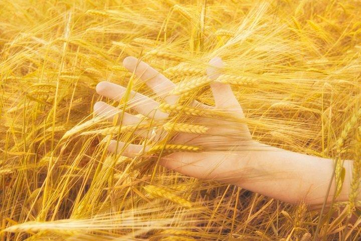 Découvrez les bienfaits du blé sur la santé