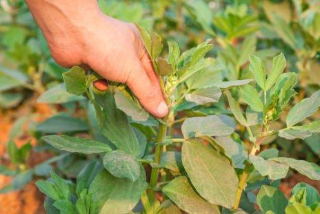 Semer des fèves : tous nos conseils pour de belles récoltes