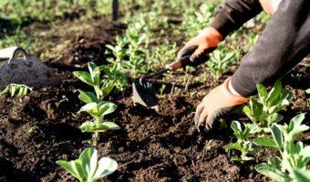 Semer des fèves : ces légumineuses oubliées au potager