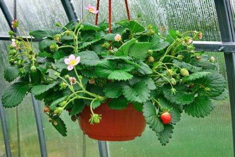 Fraisier : tout savoir pour avoir de belles fraises