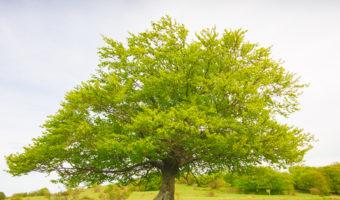 Tout savoir sur le hêtre, la deuxième espèce d'arbre la plus répandue en France