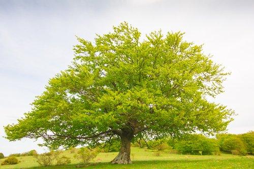 Photo of Tout savoir sur le hêtre, la deuxième espèce d'arbre la plus répandue en France