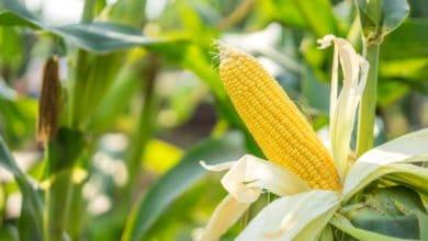 Photo of Le maïs : une céréale polyvalente