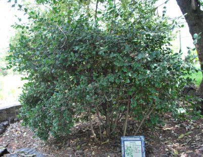 Un arbuste originaire d'Amérique du Sud