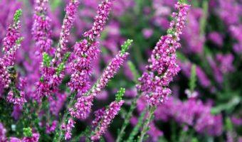 La bruyère : les secrets de cette plante considérée comme magique