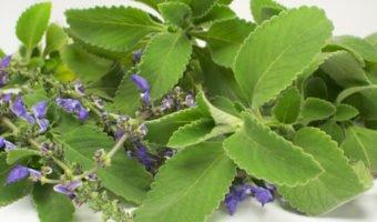 Le boldo, plante alliée du système digestif