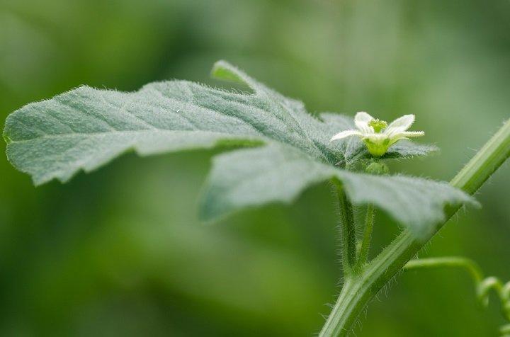 Photo of La bryone : une petite fleur aux nombreuses propriétés