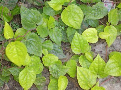 Les feuilles de cette plante