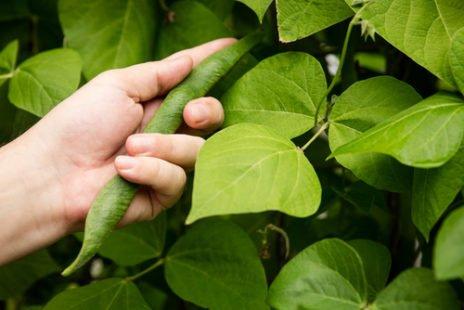 Le flageolet : légumineuse aux propriétés nutritionnelles intéressantes !