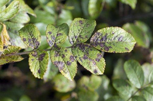 La fumagine, une maladie bien connue des jardiniers