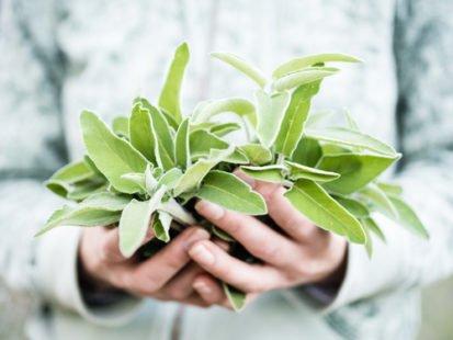 Planter de la sauge : tous nos conseils pour bien vous y prendre !