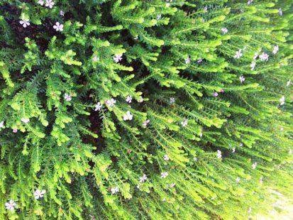 Une plante médicinale reconnue