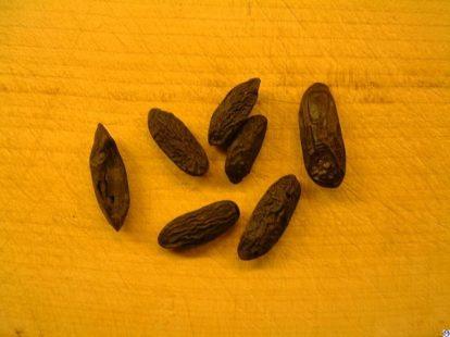 La fève tonka : que se cache-t-il sous la coumarine ?