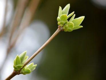 Gemmothérapie : l'énergie de la plante contenue dans les bourgeons La-gemmoth%C3%A9rapie-les-bourgeons-soignent-ils-vraiment-e1528814830715-370x280