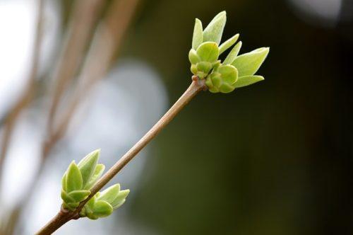 Photo of Gemmothérapie : l'énergie de la plante contenue dans les bourgeons