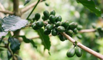 Le café vert : lumière sur le café non torréfié