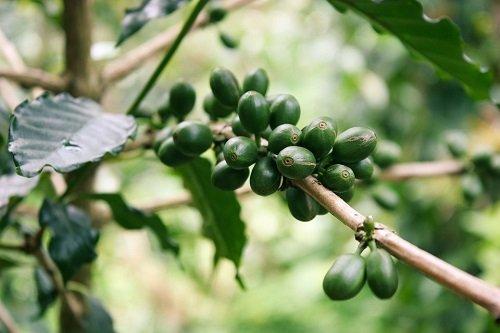 Photo of Le café vert : lumière sur le café non torréfié