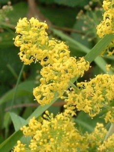 Bienfaits du gaillet jaune