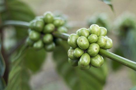 Présentation des graines de café