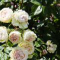Le rosier : comment planter et entretenir cette plante millénaire