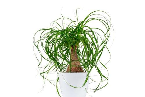Le beaucarnea, une plante facile d'entretien