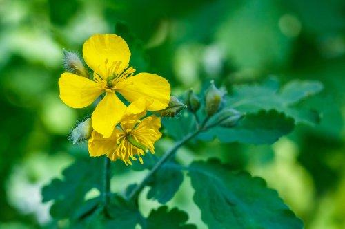 Chélidoine : la plante contre les verrues, mais pas seulement...