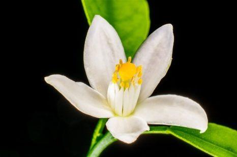 Fleur d'oranger : ses contre-indications et précautions d'utilisation