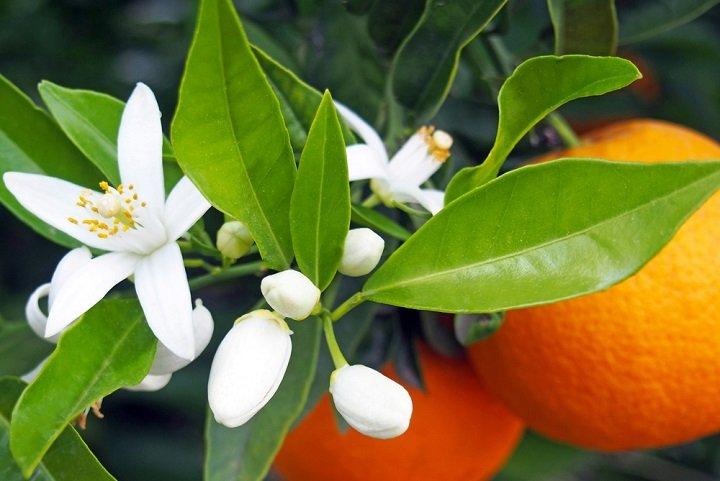 Les bienfaits de la fleur d'oranger