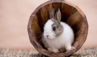Le lapin nain ? Un lapin véritable…