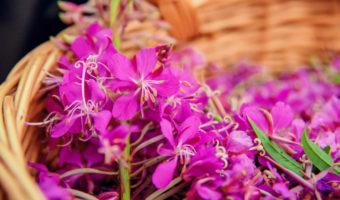 L'épilobe : une jolie plante amie de la prostate