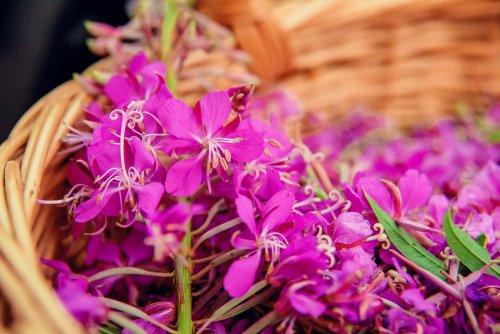 Épilobe : la plante médicinale de la prostate
