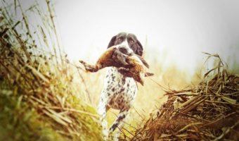 Chien de chasse : tout savoir sur ce chien à l'instinct de meute