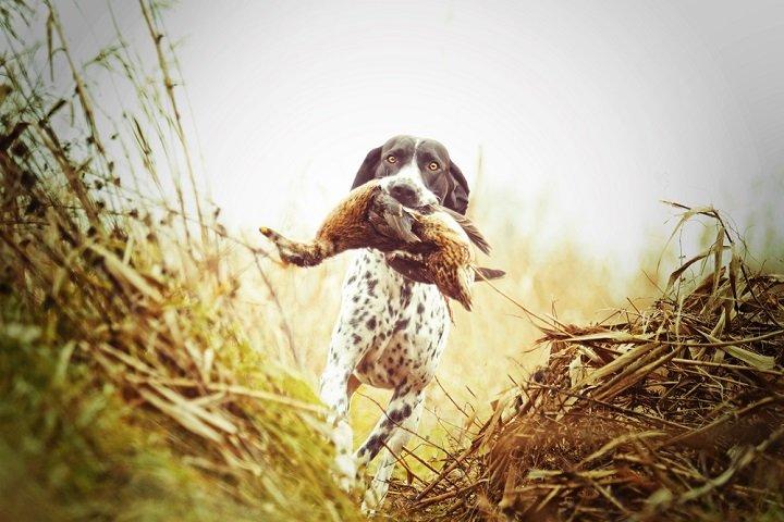 Tout savoir sur le chien de chasse