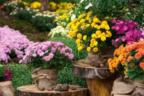 Chrysanthellum : la plante amie du foie