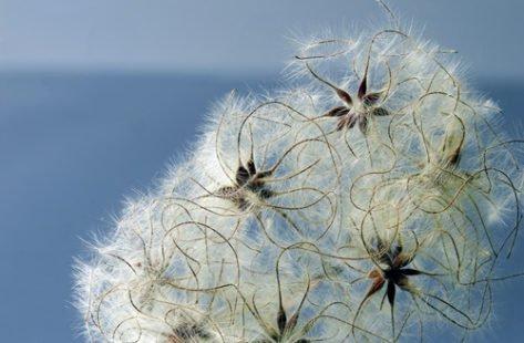 La clématite des haies, une plante médicale à connaître