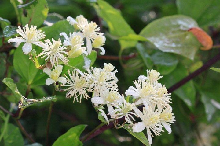 Photo of La clématite des haies, une plante aussi décorative que toxique