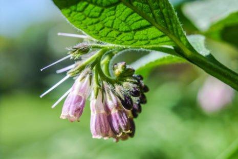 Une plante autant toxique que bénéfique