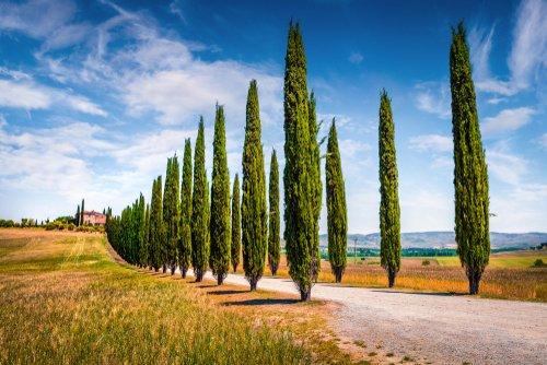 Le cyprès : l'arbre qui protège le système vasculaire