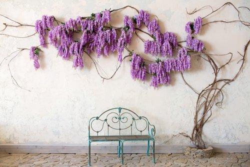 La glycine, une plante grimpante pour habiller votre jardin