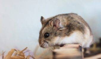 Le hamster, un si charmant solitaire