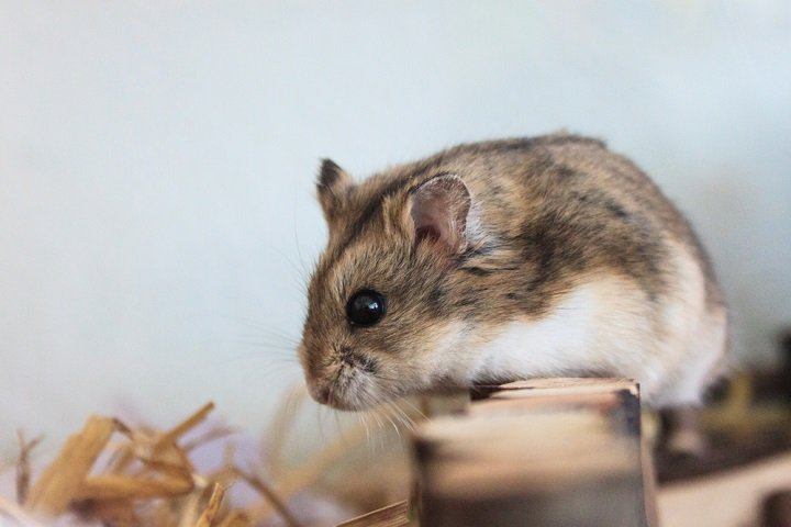 Le hamster, cet animal sauvage