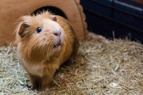 Comment bien prendre soin d'un cochon d'Inde