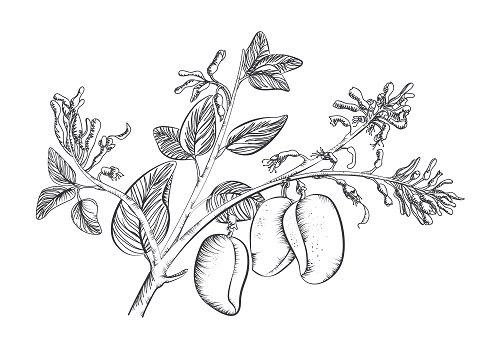 Plante Griffonia | Effets secondaires - Biologique - Vertus santé