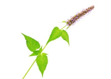 Une plante médicinale et un mets de choix
